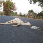 Cow dead in Bundelkhand