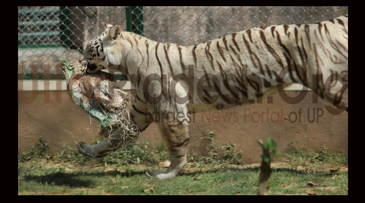 lucknow zoo white tiger