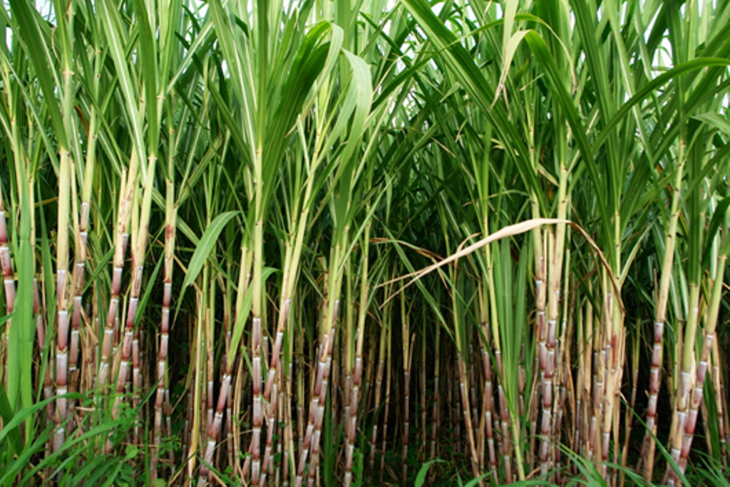Sugarcane component cuts your stress and increases sleep