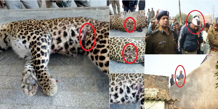 Leopard Encounter in Lucknow