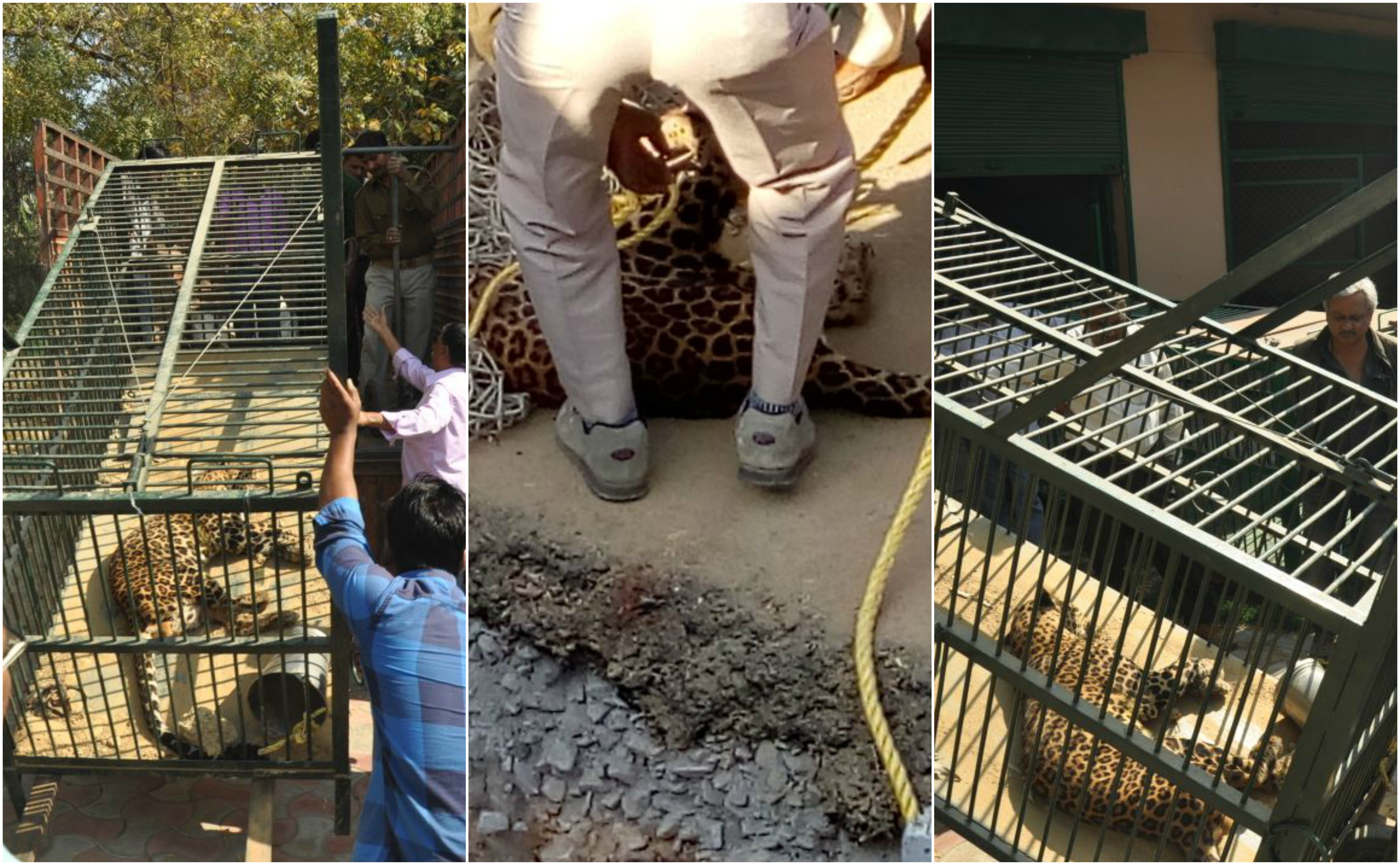 Lucknow Leopard caught in midnight after operation last night