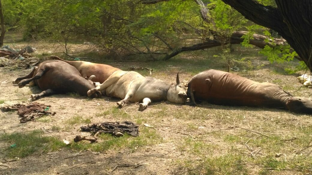 Cows died body found in Lucknow's K